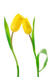 Tulips on white Royalty Free Stock Photos