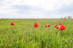 Tulips in a wild field. Red flowers among the green grass Royalty Free Stock Photos