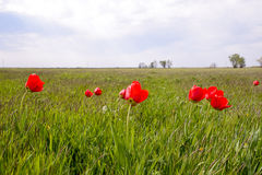 Tulips in a wild field. Red flowers among the green grass Royalty Free Stock Images