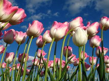 Tulips in wind. With blue sky and clouds Royalty Free Stock Photos