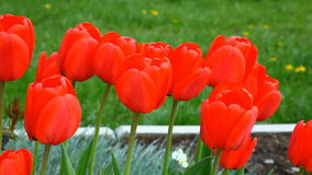 Tulips in wind stock video footage