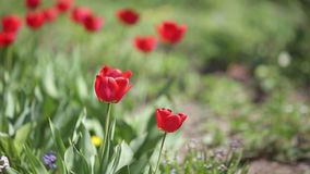 Tulips in the wind. Wind blows through the tulips in a countryside garden stock video footage