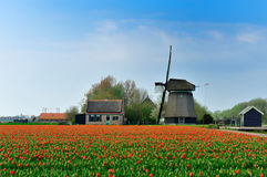 Tulips and windmill. Colorful field of tulips and windmill in the Netherlands Royalty Free Stock Image