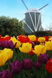 Tulips and windmill. Royalty Free Stock Photography