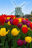 Tulips and windmill. Stock Photo