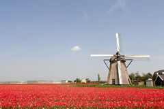 Tulips and windmill royalty free stock images