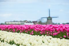 Tulips and windmill. A traditional Dutch colorful tulips field with wildmill. Netherlands Royalty Free Stock Photo
