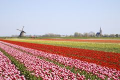 Tulips and windmill 4. Dutch tulip field with historic windmill in the backgropund Royalty Free Stock Images