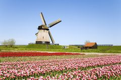 Tulips and windmill 5. Dutch tulip field with historic windmill in the backgropund Royalty Free Stock Images