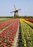 Tulips and windmill 6. Dutch tulip field with historic windmill in the backgropund Stock Photo