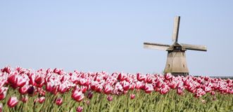 Tulips and windmill 7. Dutch tulip field with historic windmill in the backgropund Stock Photo
