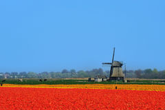 Tulips and windmill. Colorful field of tulips and windmill in the Netherlands Royalty Free Stock Images
