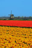 Tulips and windmill. Colorful field of tulips and windmill in the Netherlands Stock Photo