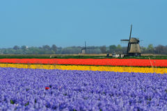 Tulips and windmill. Colorful field of tulips and windmill in the Netherlands Stock Image