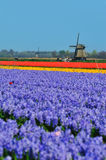 Tulips and windmill. Colorful field of tulips and windmill in the Netherlands Royalty Free Stock Photo