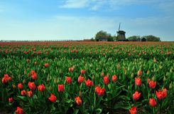 Tulips and windmill. Colorful field of tulips and windmill in the Netherlands Royalty Free Stock Photos