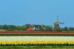 Tulips and windmill. Colorful field of tulips and windmill in the Netherlands Stock Photography
