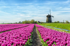 Tulips and Windmill. Colorful tulip field in front of a traditional Dutch windmill Stock Image