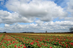 Tulips and a windmill in Holland. Colorful fields of tulips and a windmill under a cloudy sky in Holland Stock Photography