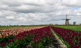 Tulips and a windmill in Holland royalty free stock photos