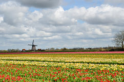 Tulips and a windmill in Holland. Colorful fields of tulips and a windmill under a cloudy sky in Holland Stock Photos