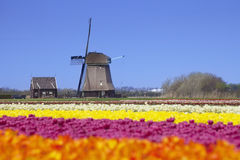 Tulips and windmill on a sunny day in The Netherlands. Colourful tulips on a sunny day in The Netherlands with a traditional windmill in the background Royalty Free Stock Photo