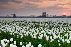 Tulips and windmill Royalty Free Stock Photos