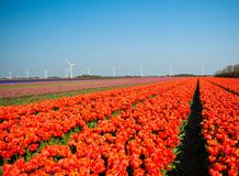 Tulips with Windmills Stock Photo