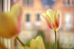 Tulips in the Window Stock Photos
