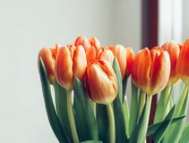 Tulips window light bouquet spring day indoor. Bouquet tulips flowers window indoor close-up spring day royalty free stock photo