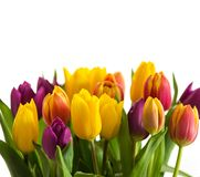 Tulips on a wooden background, Spring Flowers Stock Images