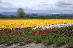 Tulips, Woodland WA. Stock Photography