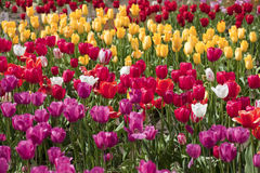 Tulips, Woodland WA. Stock Images