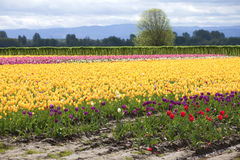 Tulips, Woodland WA. Royalty Free Stock Photography