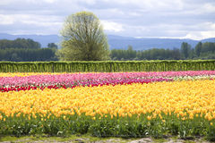 Tulips, Woodland WA. Stock Photos