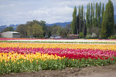 Tulips, Woodland WA. Royalty Free Stock Photos