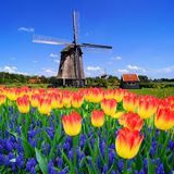 Tulips wWith Dutch windmill, Netherlands. Colorful spring flowers with classic Dutch windmill, Netherlands Stock Image