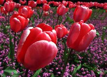 Tulips (1) Stock Image