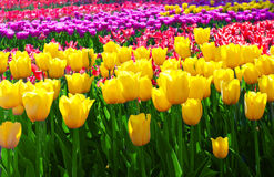 Tulips yellow Royalty Free Stock Photography