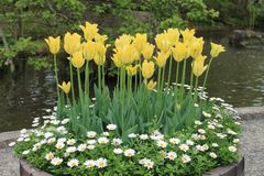 Tulips. Yellow tulips in a big pot Royalty Free Stock Images