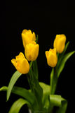 Tulips. Yellow tulips on a black background Stock Image