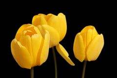 Tulips, Yellow, Flowers, Spring Royalty Free Stock Photography