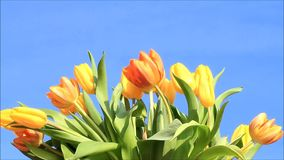 Tulips yellow orange stock video
