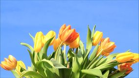 Tulips yellow orange on blue stock footage