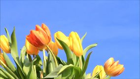 Tulips yellow orange on blue sky stock footage