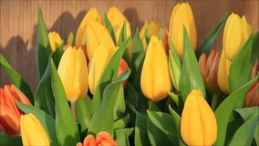Tulips yellow orange rotate. Easter stock video