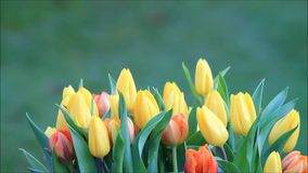 Tulips yellow orange rotate on green stock video