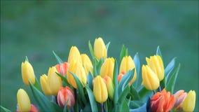 Tulips yellow orange rotate on green stock video