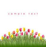 Tulips. Yellow and pink tulips Stock Photography