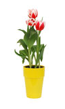 Tulips in yellow pot Stock Photos